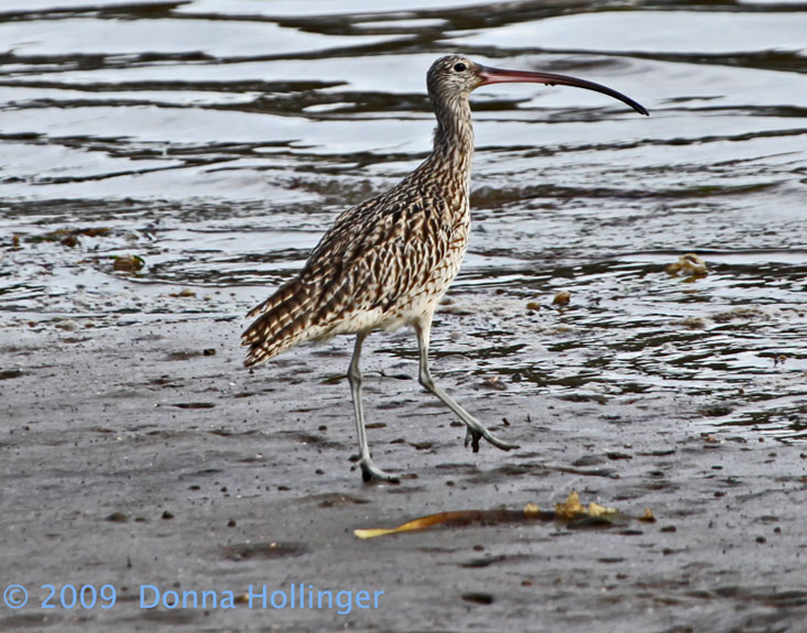 Eastern Curlew (Non-breeding) Numenius madagascariensis