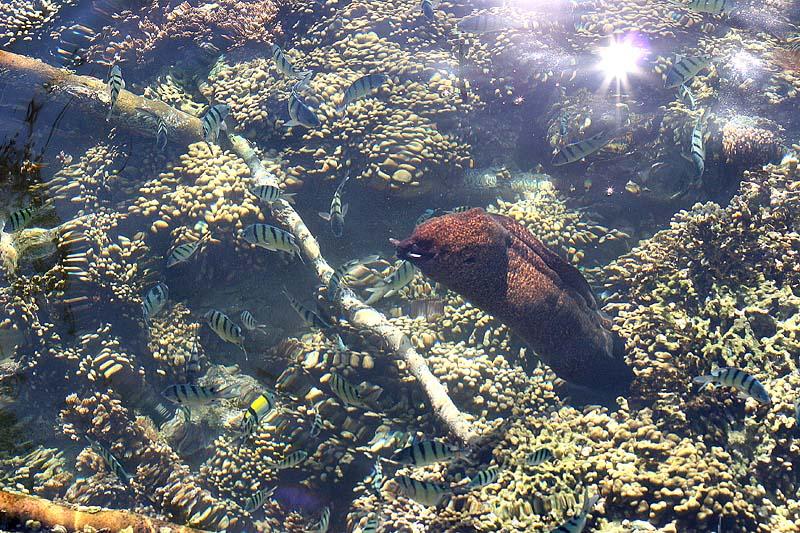 Moray Eel (yellowmargin)