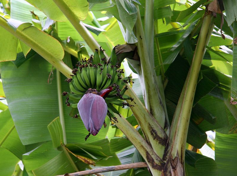 Banana inflorescense