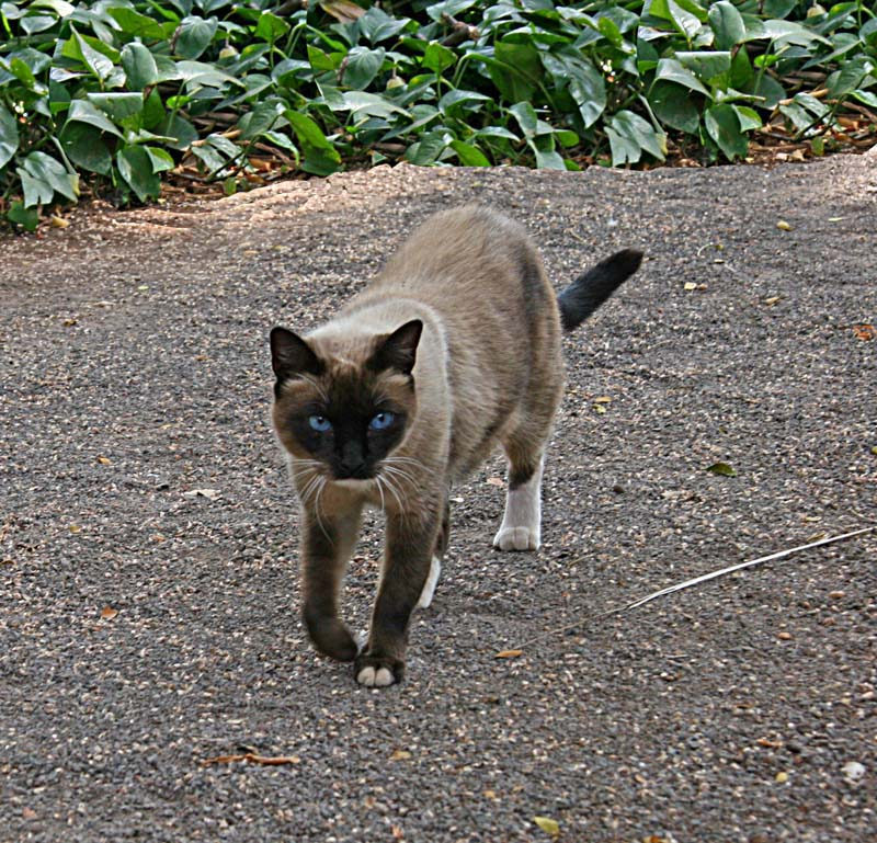 Feral Siamese ( A Miles lookalike)