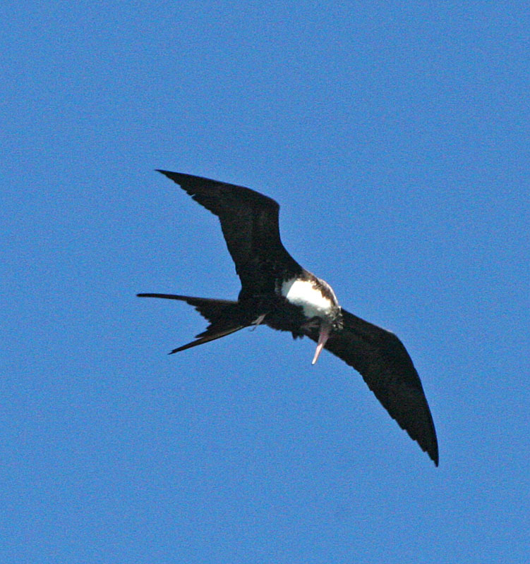 Taking a look down there.  Frigate Bird