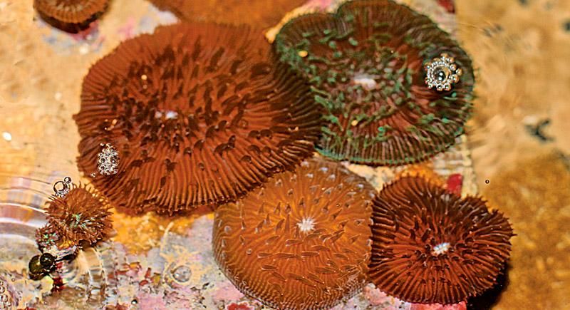 Oval Mushroom Coral