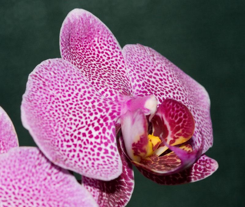 Orchid Profile