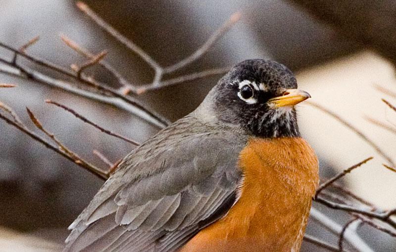 Headshot Robin