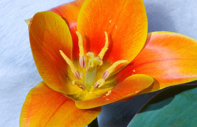 Miniature tulips