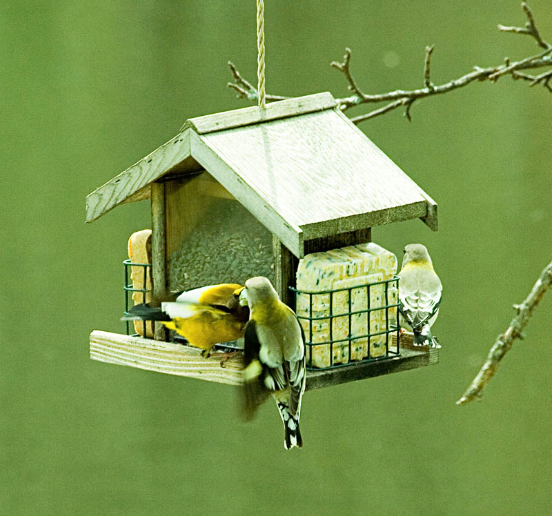 Evening Grosbeak Offering food