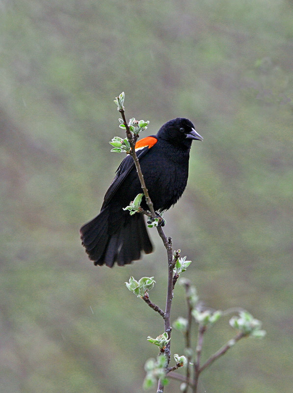 Red Winged Blackbird Male Calling