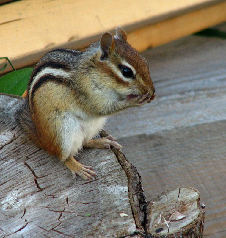 Chipmunk hangin around!