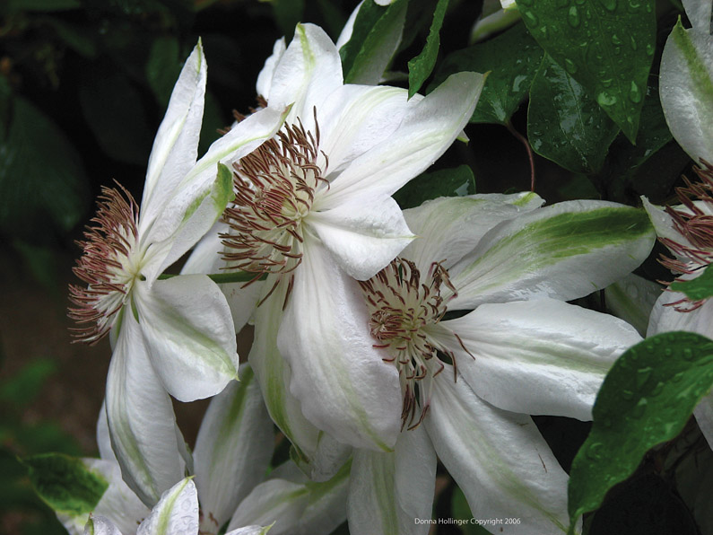 Spidery Clematis