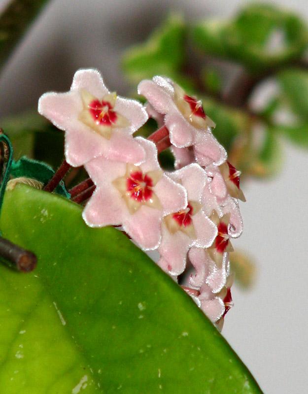 Hoya carnosa profile