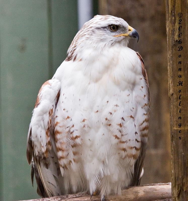 Hooked beak