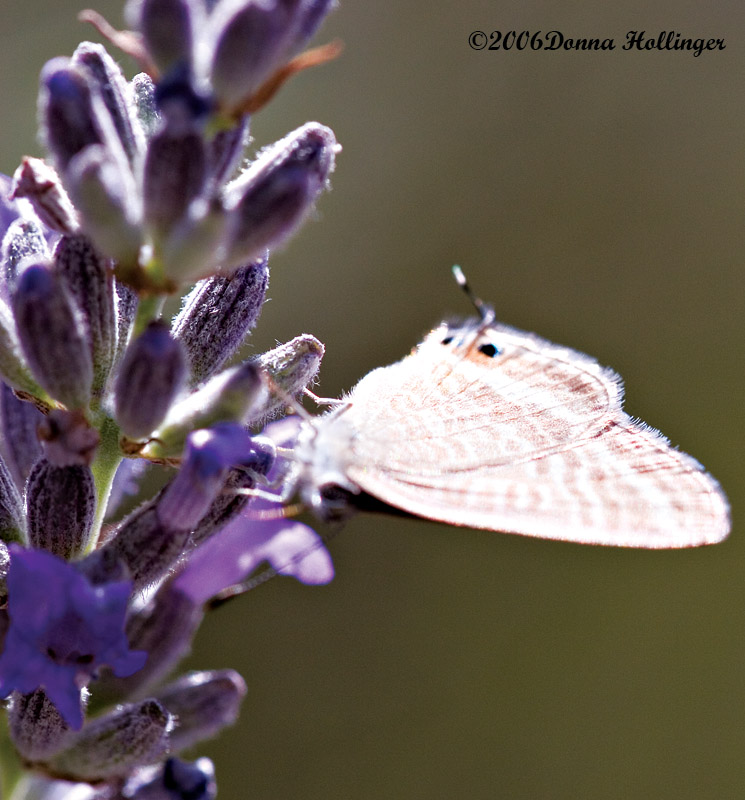 Red Striped Butterfly on Lavender