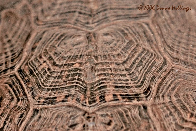 Wood Turtle Shell Pattern