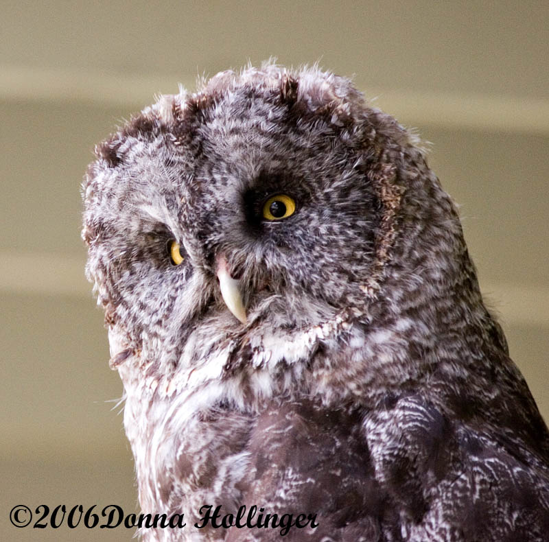 Great Gray Owl: I have yellow eyes