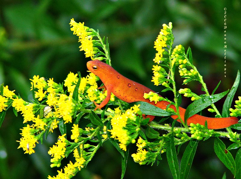 Red Eft on Goldenrod