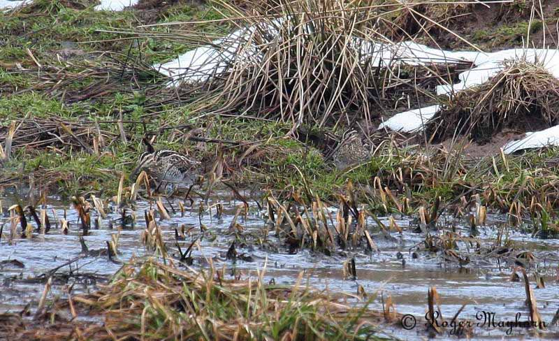 Two Camouflaged Snipe