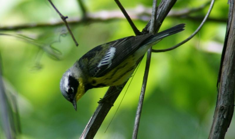 Magnolia Warbler - male