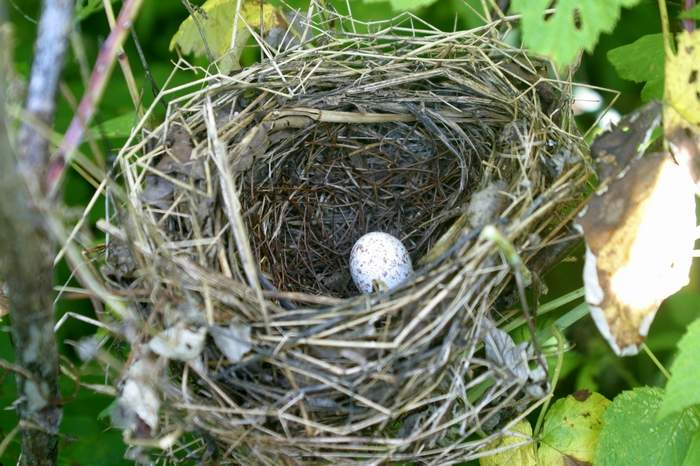 Yellow - breasted Chat nest with unhatched egg