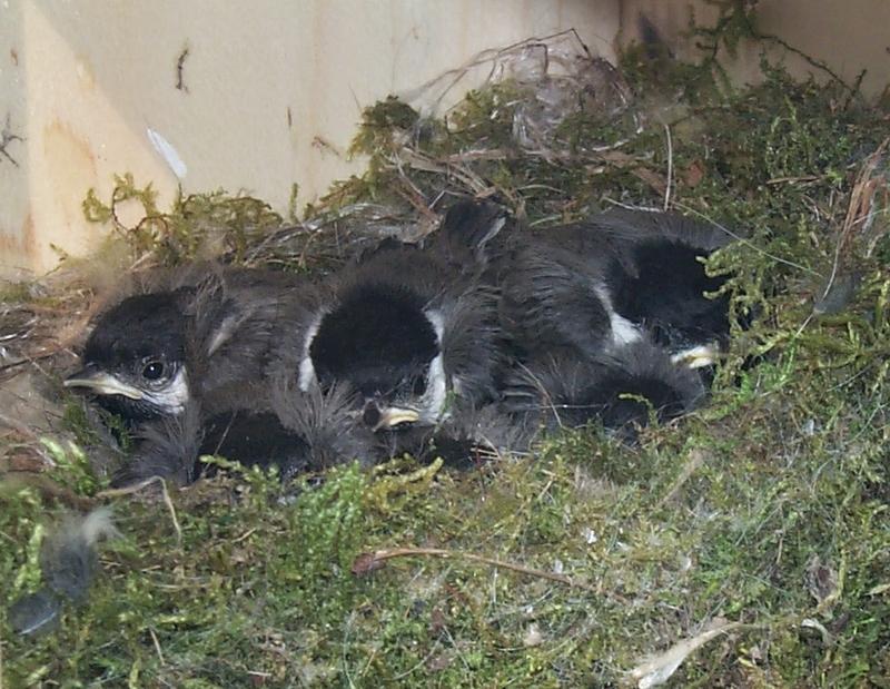 Carolina Chickadee Nestlings