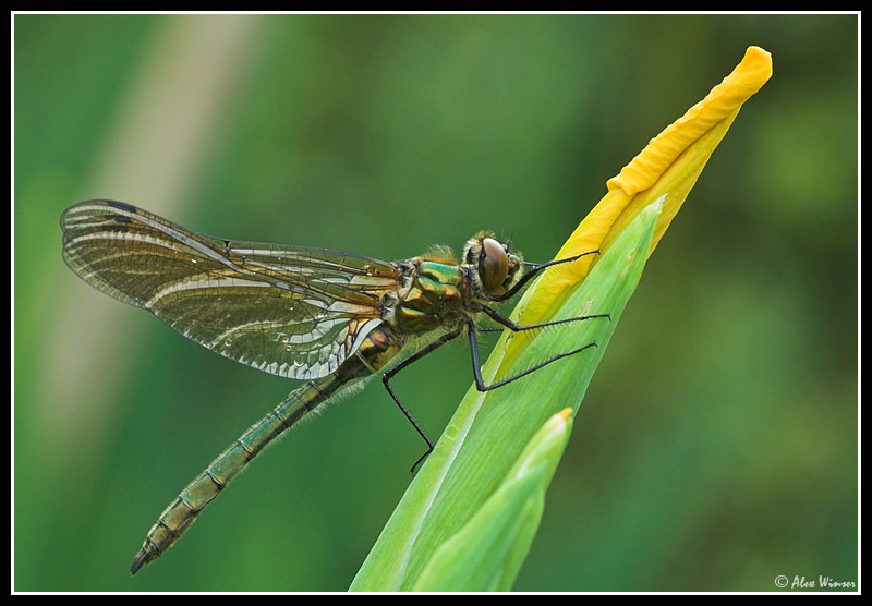 Downy Emerald - Male Teneral