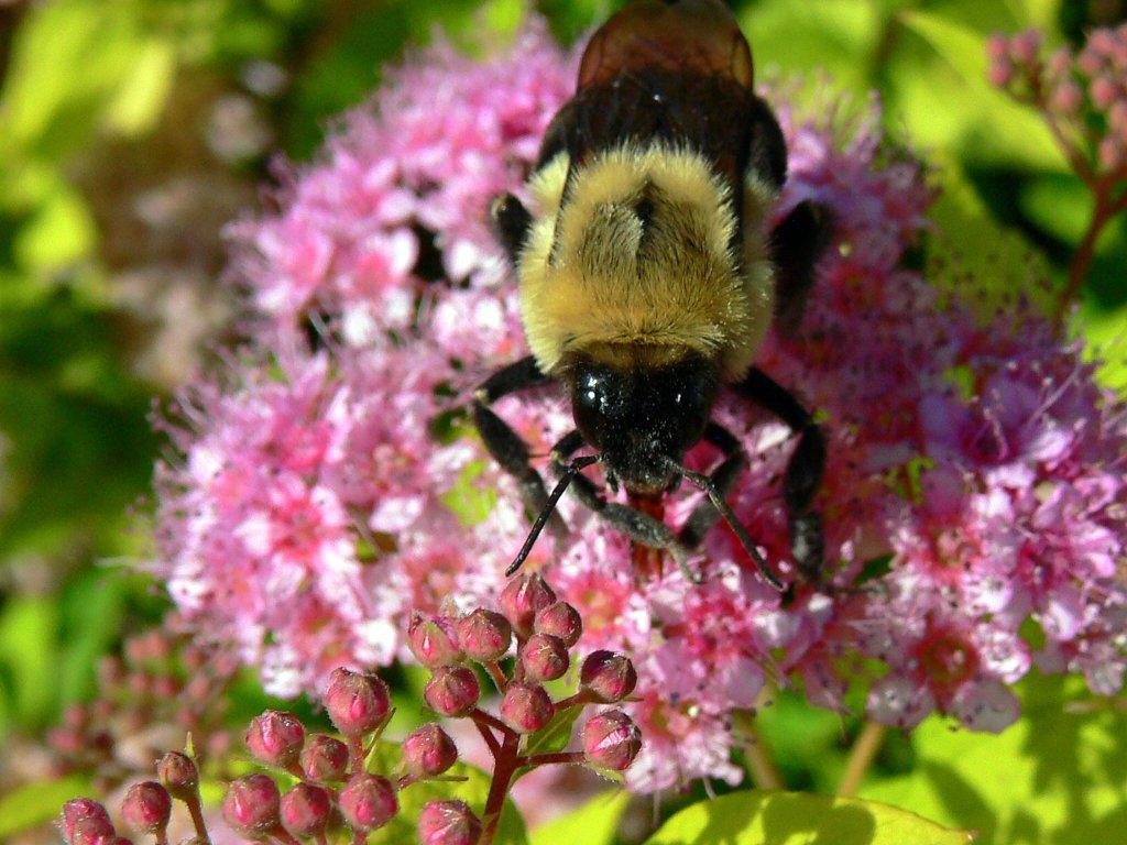 Macro - The honey bee...