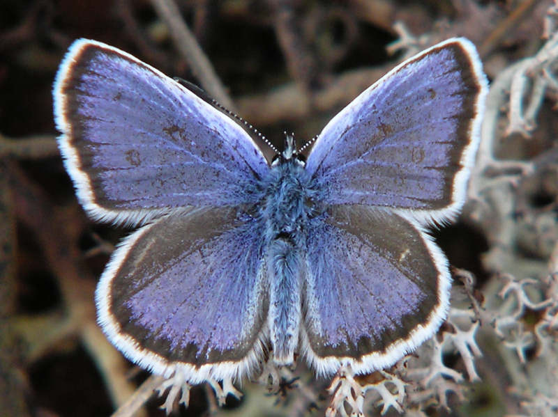 Ljungblåvinge (hanne) - Plebejus argus - Silver-studded Blue (male)