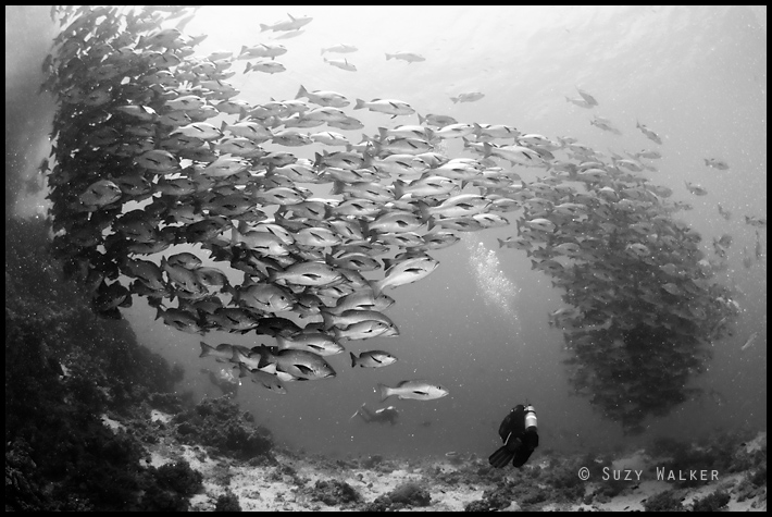 Snapper disturbed by diver