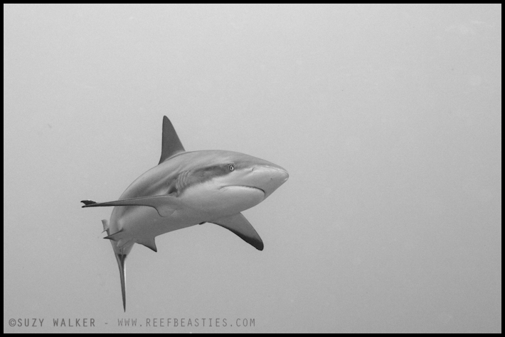 Reef shark b&w