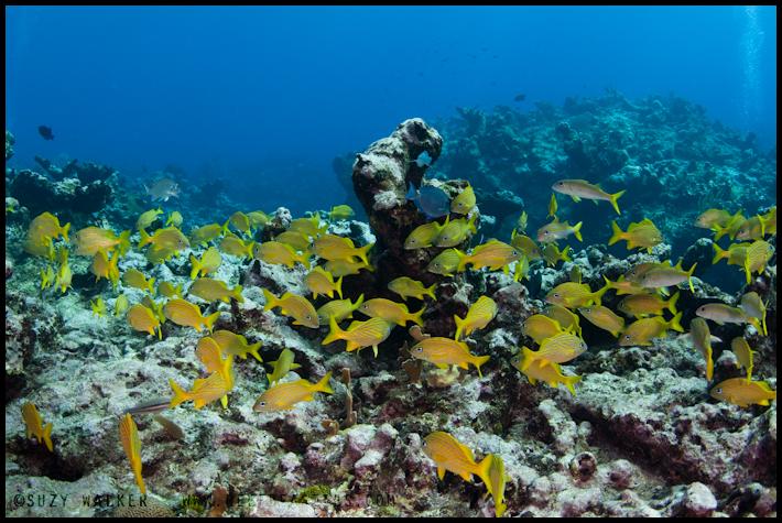 Schooling Yellow fish
