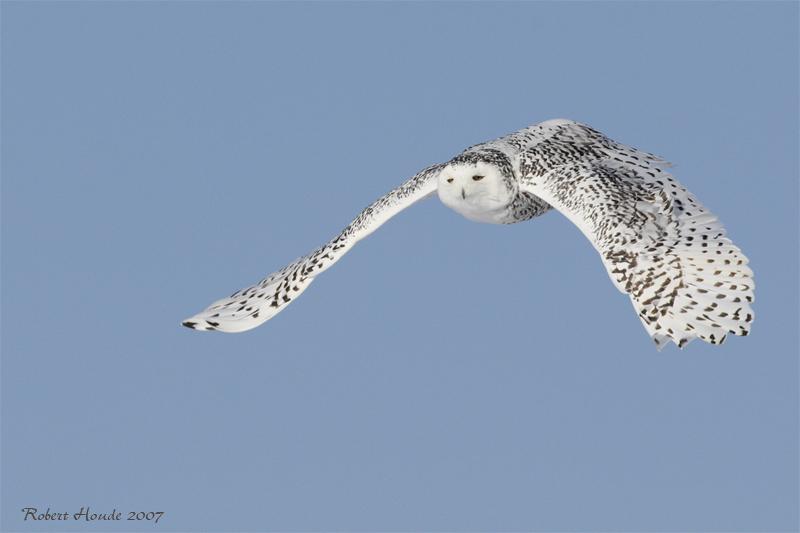 Harfang des neiges -- _E0K0457 -- Snowy Owl