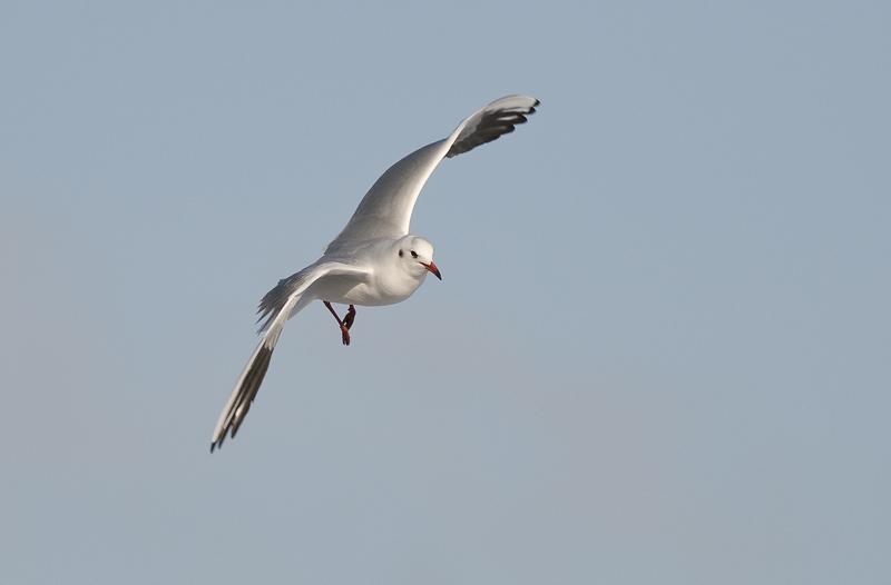 Black-headed gull/Kokmeeuw 4