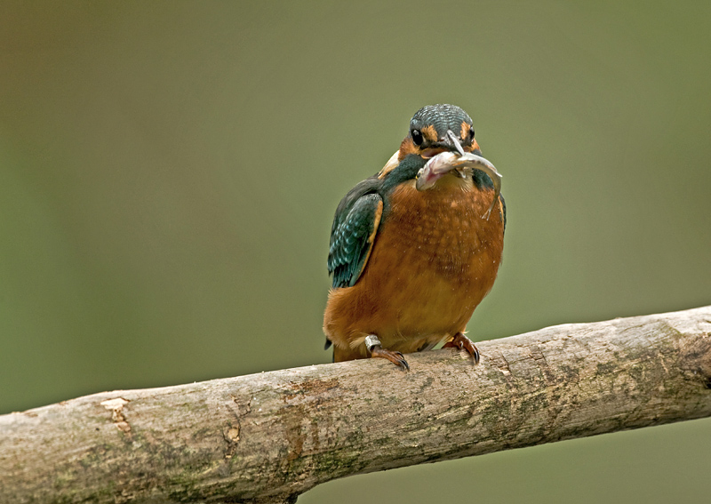 Kingfisher/IJsvogel 32