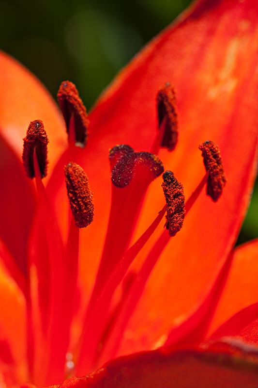 09-06 Lilies 04.JPG