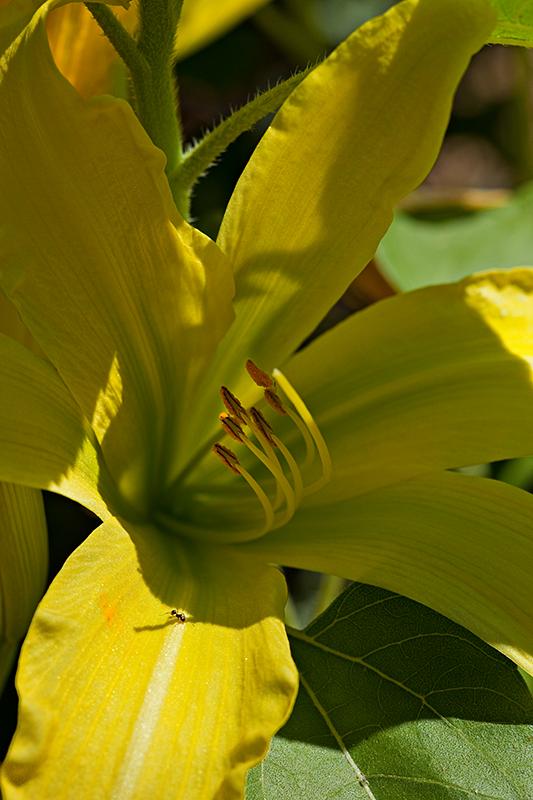 09-06 Lilies 05.JPG