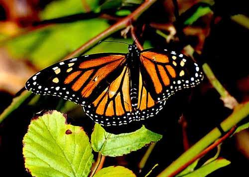 Monarchs,Thanksgiving 08 002.jpg