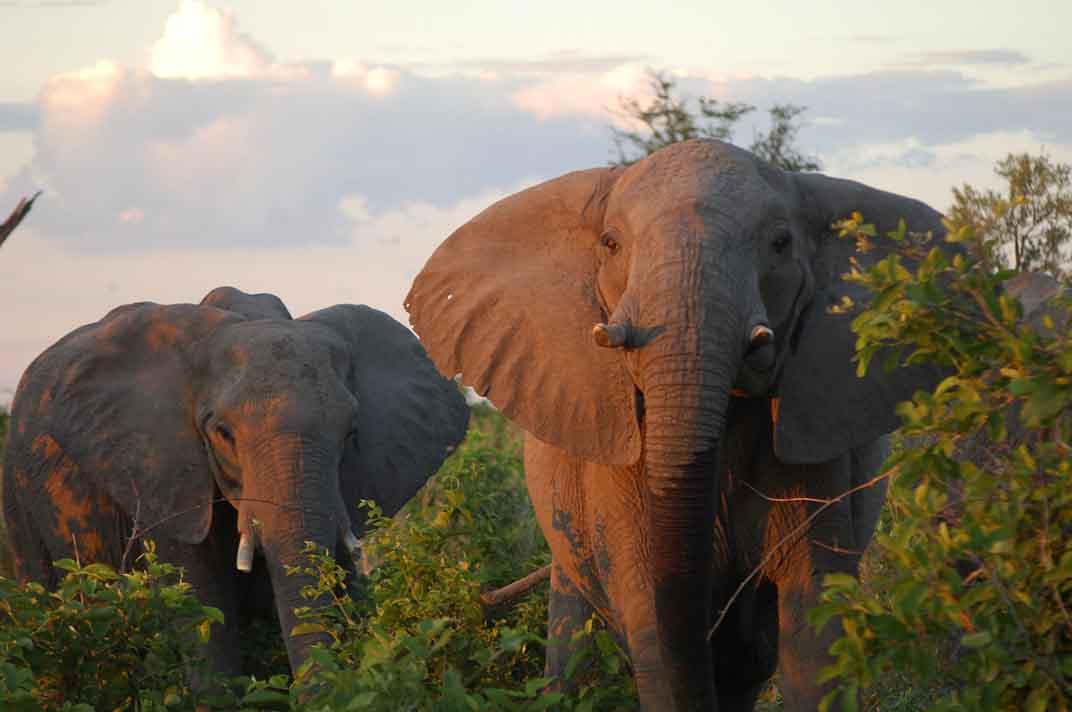 charging elephants