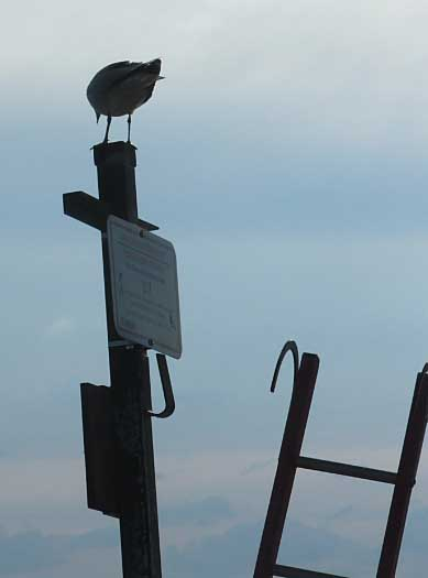 gull and ladder