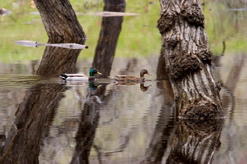 Glassy Ducks