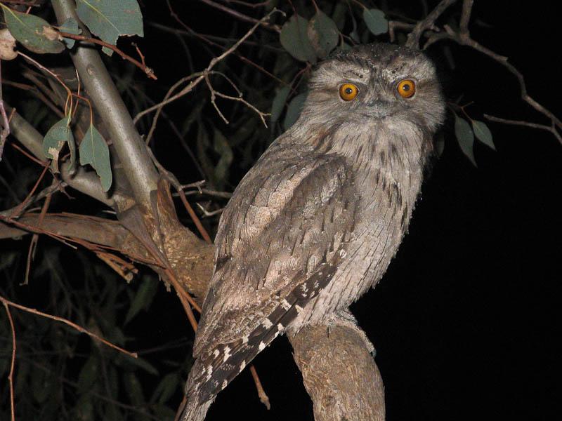 Tawny frogmouth owl in Melbourne, Australia