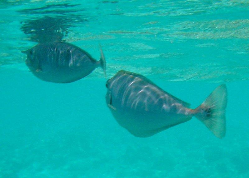 Spotted Unicornfish (25)