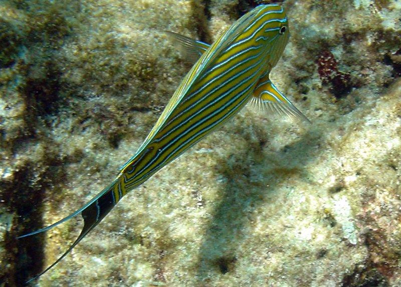 Lined Surgeonfish (20)