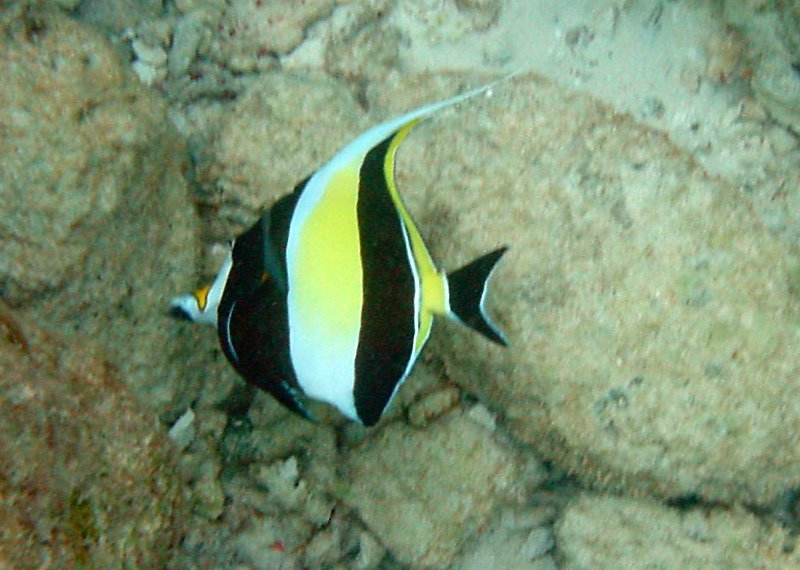 Moorish Idol (15)