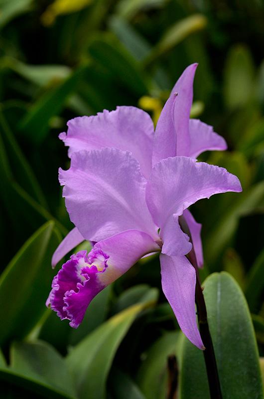 Cattleya trianaei