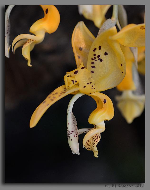 Stanhopea jenischiana