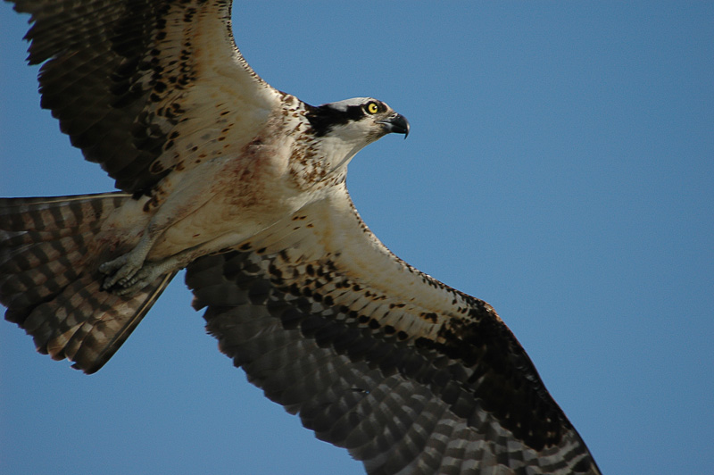 Pax Osprey_006.jpg