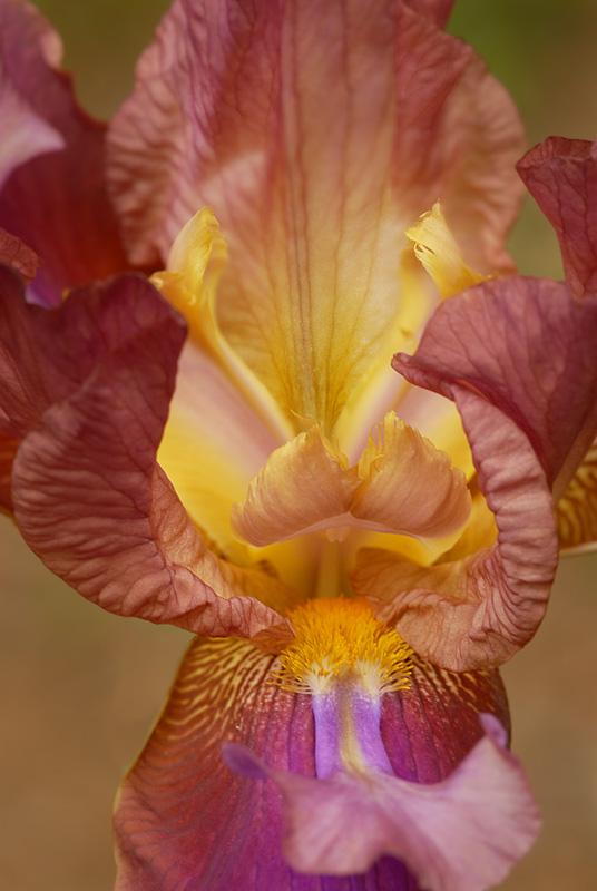 Iris_001.jpg