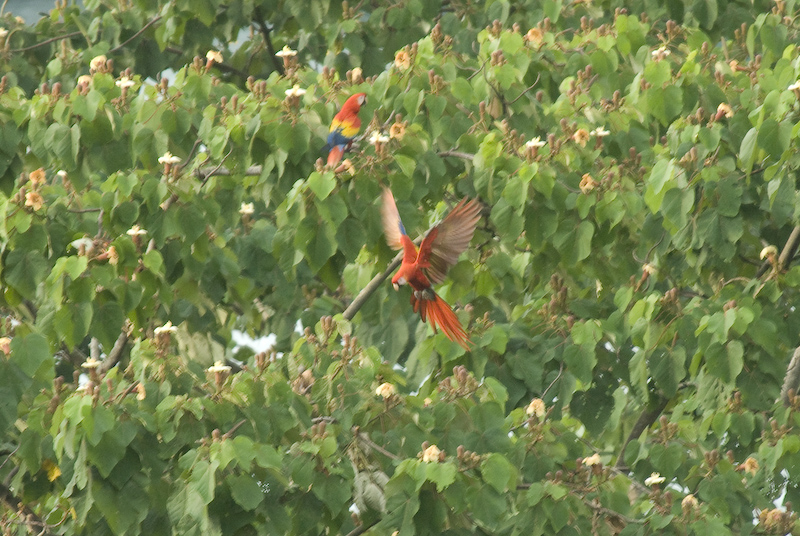 Scarlet Macaws in a Balsa Tree