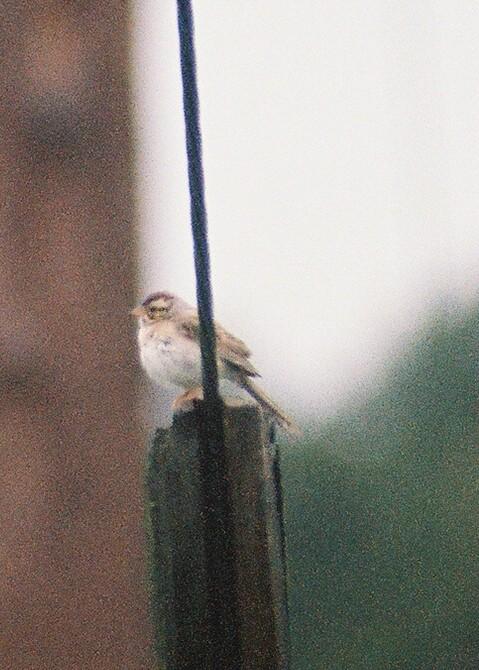 Clay-colored Sparrow-enhanced photo