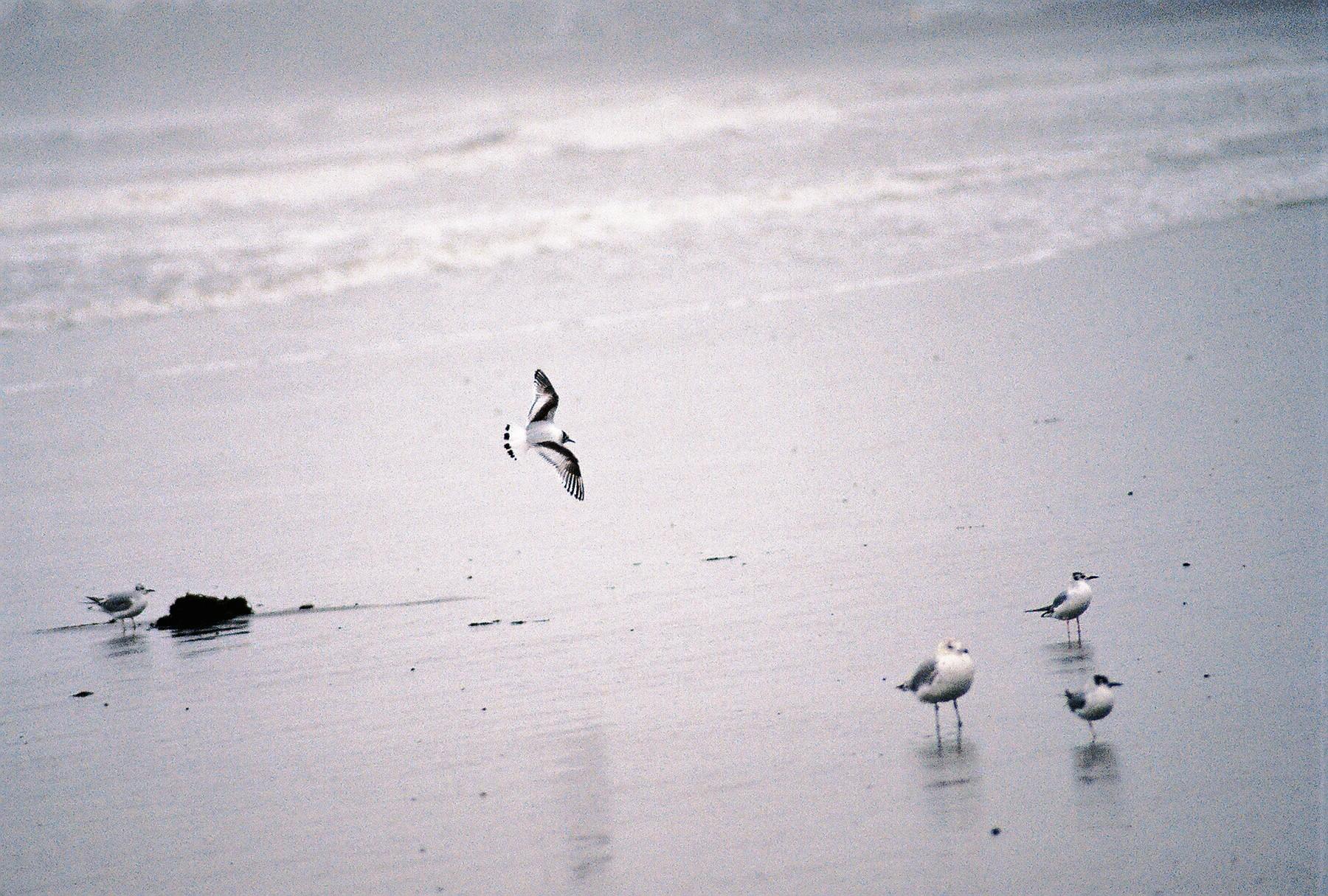 Little Gull in Flight
