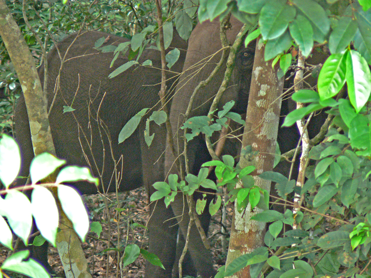 Forest Elephants about 50 feet away